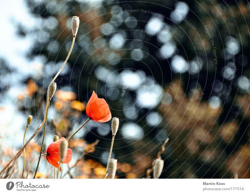 sonne, mohn und sterne schön Baum Blume Pflanze rot Sommer Leben Wiese Gras Frühling träumen Wärme Kraft Feld glänzend ästhetisch