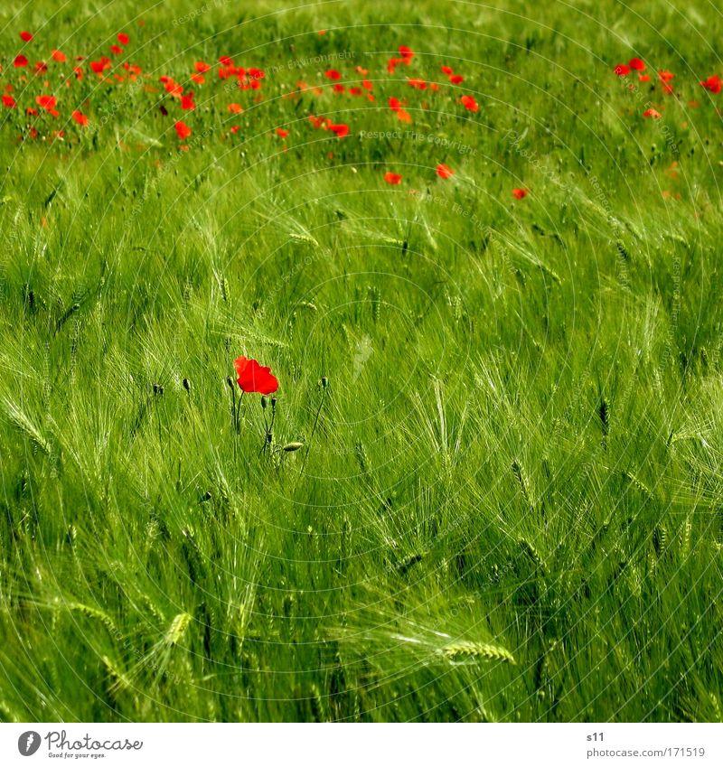 Allein Unter Vielen Natur grün rot Pflanze Sommer Blume Wiese Blüte Gras Landschaft Frühling klein Kraft Feld Getreide Landwirtschaft