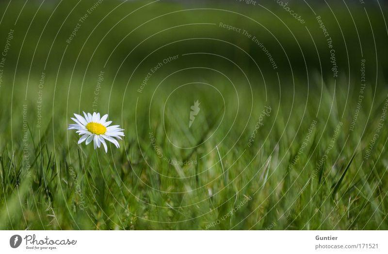 """the state of """"feeling lonely""""... Natur weiß Blume grün Pflanze Sommer schwarz Einsamkeit gelb Wiese Blüte Frühling Traurigkeit Park Umwelt Wachstum"""