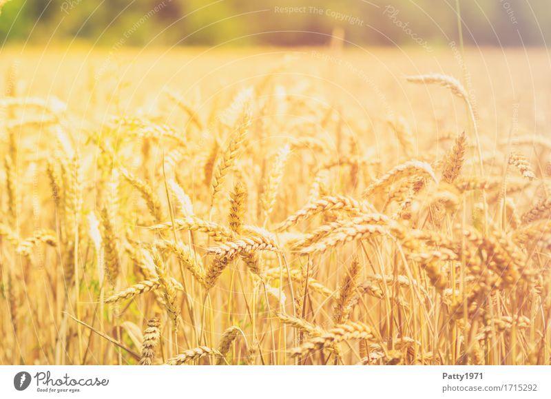 Getreide Landwirtschaft Forstwirtschaft Sommer Pflanze Nutzpflanze Weizen Weizenfeld Ähren Feld nachhaltig natürlich gelb gold Wachstum Farbfoto Außenaufnahme