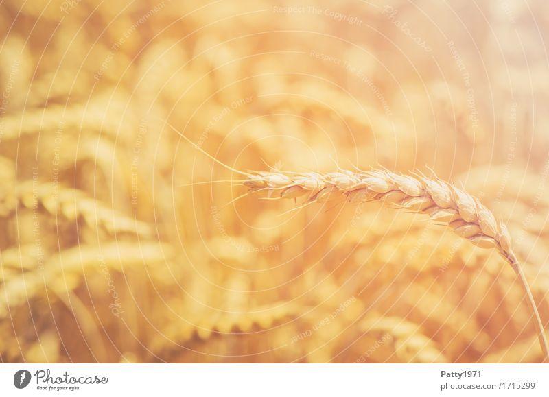 Getreide Landwirtschaft Forstwirtschaft Landschaft Sommer Pflanze Nutzpflanze Weizen Weizenfeld Ähren Feld nachhaltig natürlich gelb gold Wachstum Farbfoto