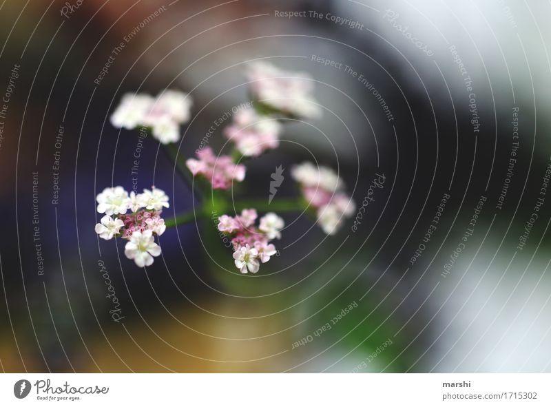 weiße Blüten Natur Pflanze Blume Sträucher Stimmung Garten Sommer Blühend Farbfoto Außenaufnahme Nahaufnahme Detailaufnahme Makroaufnahme Menschenleer Unschärfe