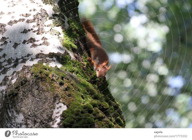 eichhörnchen auf moosfang Umwelt Natur Pflanze Tier Sommer Baum Moos Wildtier Eichhörnchen 1 natürlich niedlich wild Nestbau Sammlung Vorsorge Klettern