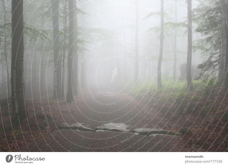 Nebelspaziergang III Farbfoto Außenaufnahme Umwelt Wetter schlechtes Wetter Gewitter Baum Wald dunkel unheimlich Perspektive Blick Baumstamm Märchen Märchenwald