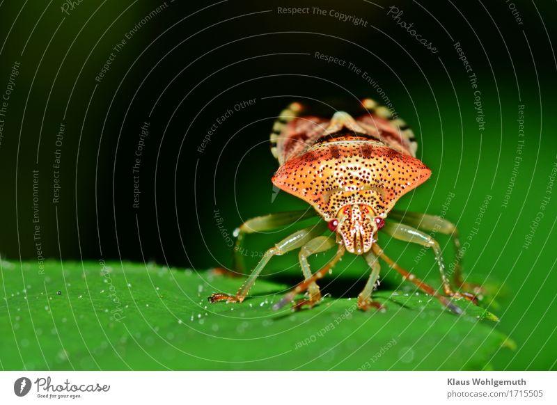 die gemeine goldpanzerwanze Umwelt Natur Tier Sommer Herbst Pflanze Blatt Park Wiese Wald Käfer Tiergesicht Wanze 1 braun gelb grün orange rot schwarz Farbfoto