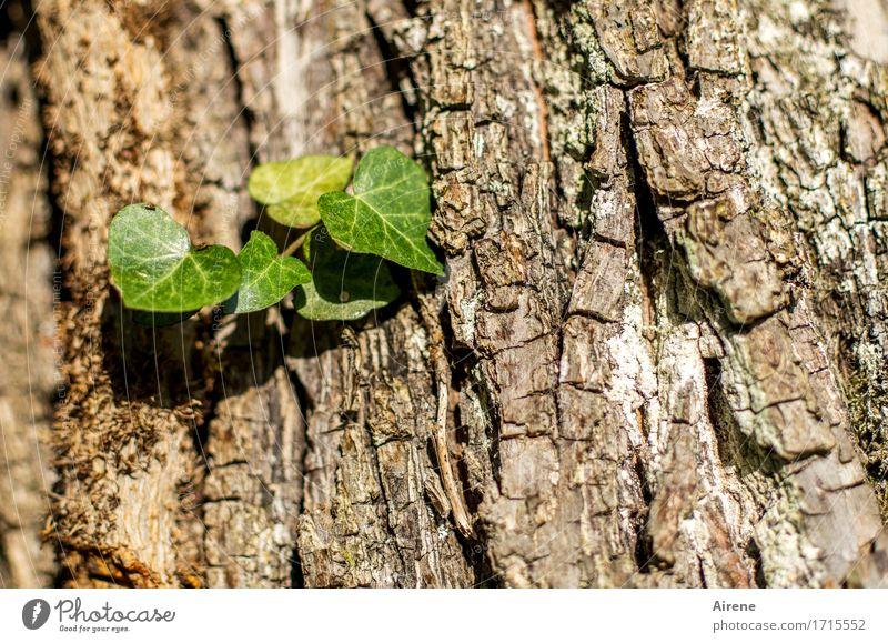 jeder fängt mal klein an Natur Pflanze Baum Blatt Grünpflanze Baumstamm Baumrinde Efeu Kletterpflanzen Parasit festhalten hängen Wachstum neu braun grün