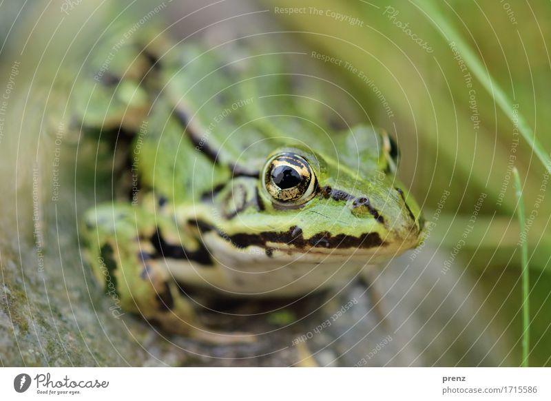 Am Teich Umwelt Natur Tier Sommer Schönes Wetter Wildtier Frosch 1 grün sitzen Stein Halm Auge Blick Farbfoto Außenaufnahme Nahaufnahme Menschenleer