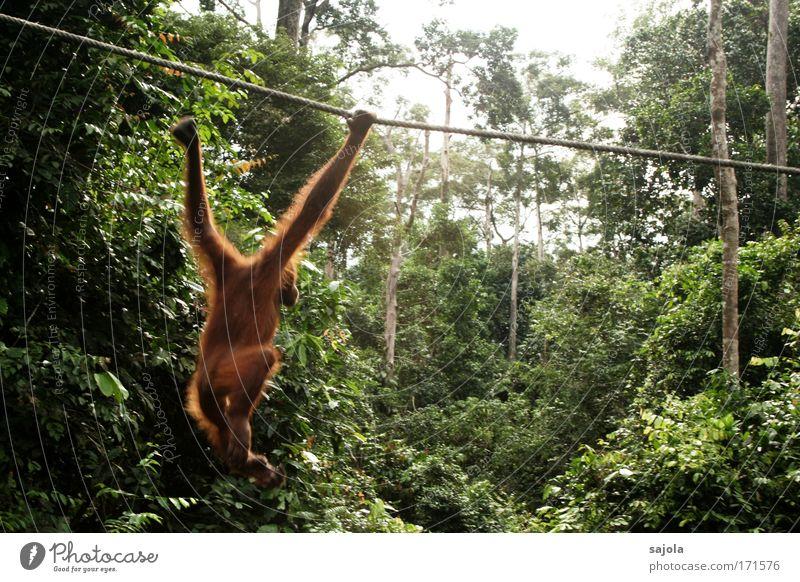 affe im vormarsch Farbfoto Außenaufnahme Tag Bewegungsunschärfe Tierporträt Ganzkörperaufnahme Profil Umwelt Natur Baum Urwald Borneo Asien Wildtier Fell Zoo