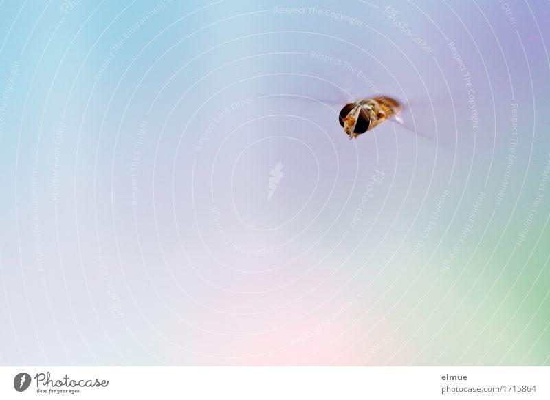 Anflug Luft Wildtier Fliege Tiergesicht Schwebfliege Facettenauge Flügel fliegen ästhetisch Coolness hell klein niedlich mehrfarbig Glück Leben Ausdauer Neugier