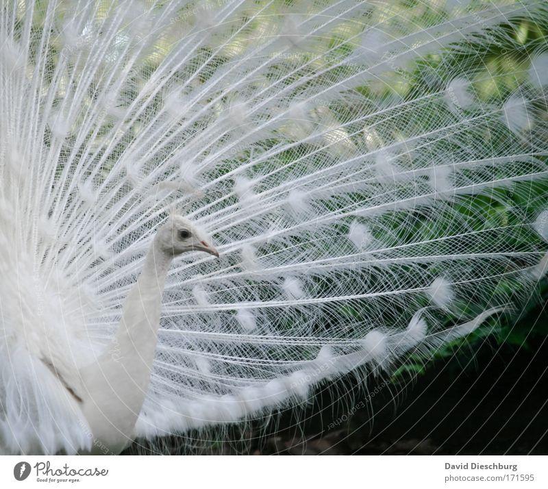 Stolz und schön Farbfoto Außenaufnahme Detailaufnahme Strukturen & Formen Tag Kontrast Tierporträt Profil Natur Wildtier Vogel Tiergesicht Zoo 1 weiß Pfau Feder