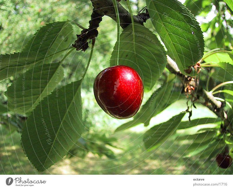 Kirschbaum Blatt Garten Frucht Kirsche Sommertag