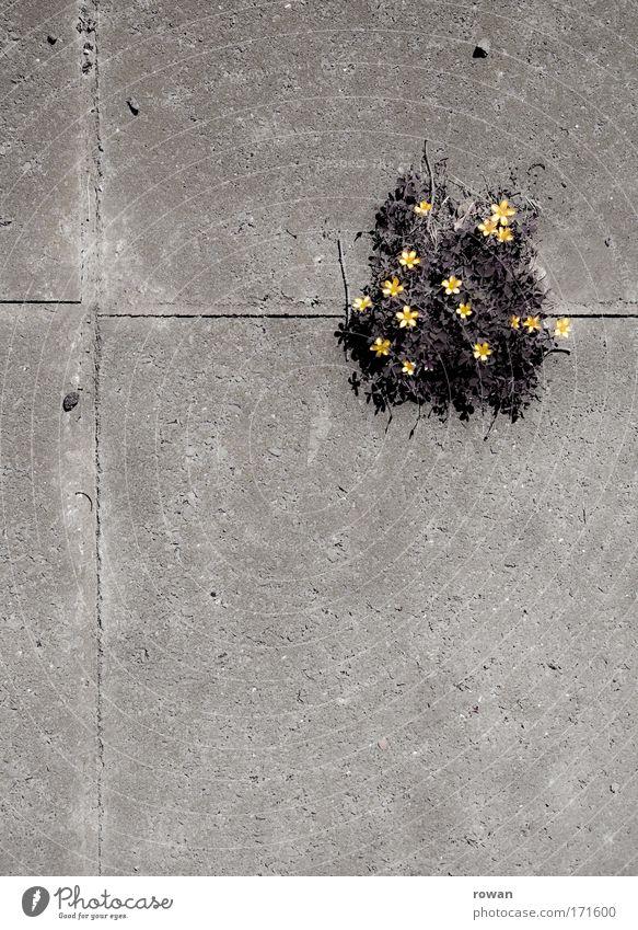 wandgemüse Natur Blume dunkel Wand Blüte Mauer Architektur Beton Hoffnung Wachstum einzigartig Blühend Mut Bauwerk kämpfen Konkurrenz