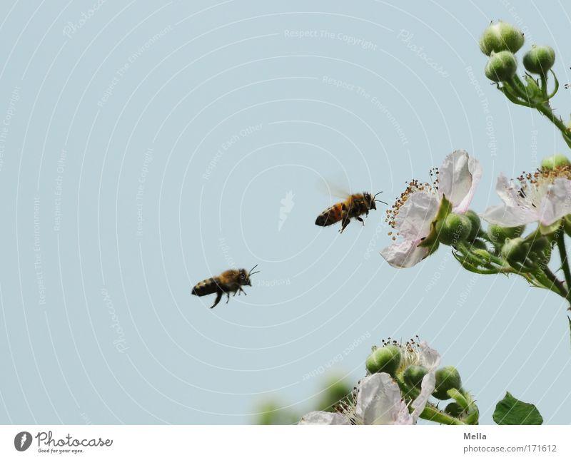 Das doppelte Bienchen Natur Himmel Blume blau Pflanze Sommer Tier Arbeit & Erwerbstätigkeit Blüte Frühling Luft Zusammensein Umwelt fliegen Sträucher Insekt