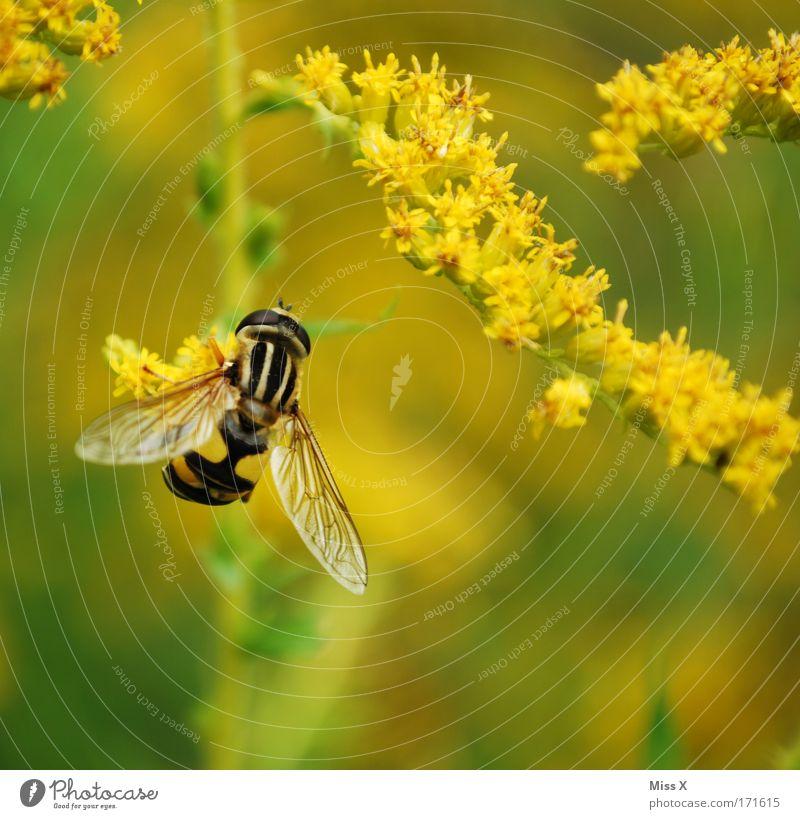 250. und mein Lieblings-Insekt Natur Pflanze Tier gelb Wiese Blüte Park Feld Umwelt fliegen Sträucher Flügel Biene Farbe