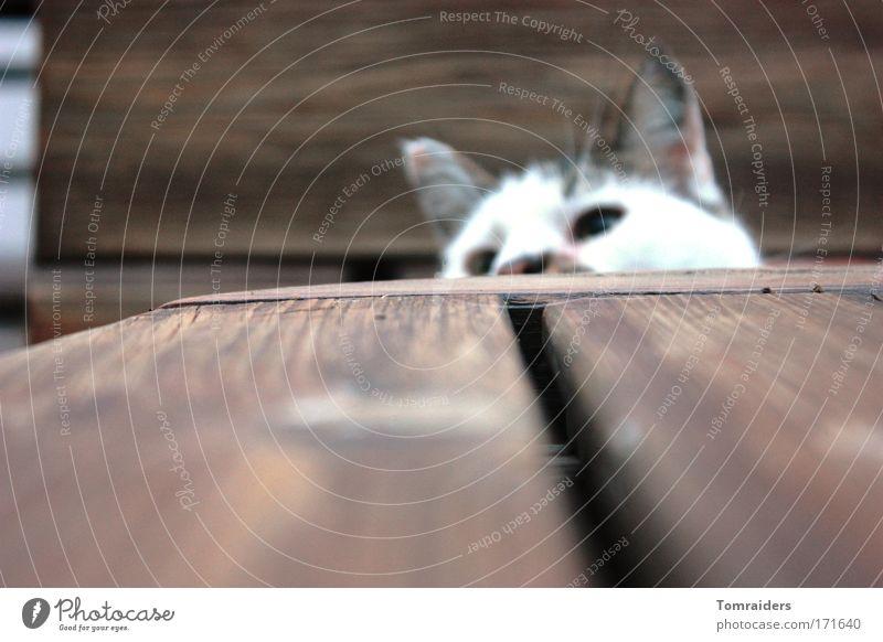 Neugier ruhig Tier Spielen Holz Katze Tisch beobachten niedlich Holzbrett Haustier geduldig Fuge Katzenohr