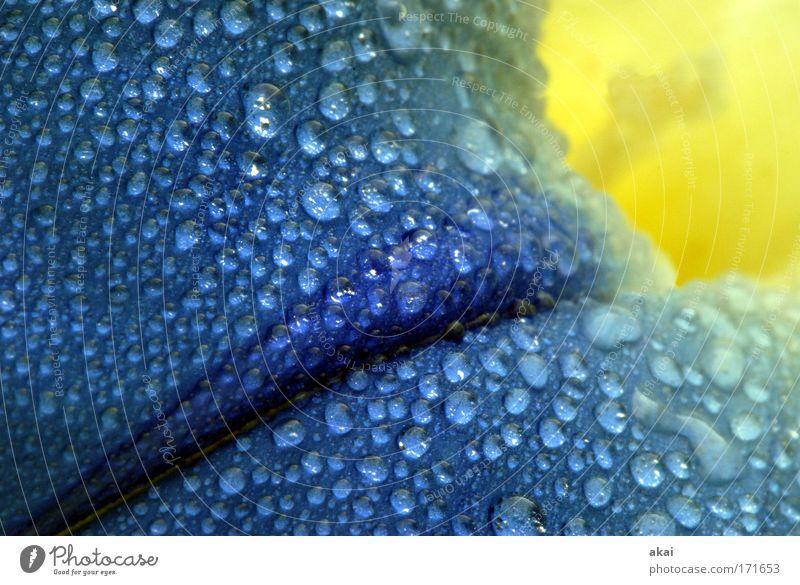Geburtstagsblümle............ Natur schön Blume blau Pflanze gelb Farbe Blüte Regen nass frisch Blühend exotisch