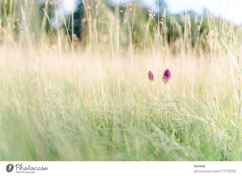 Natural beauties harmonisch Wohlgefühl Zufriedenheit ruhig Umwelt Pflanze Sonnenlicht Sommer Schönes Wetter Blume Gras Wildpflanze Wiese Blühend Wachstum frei