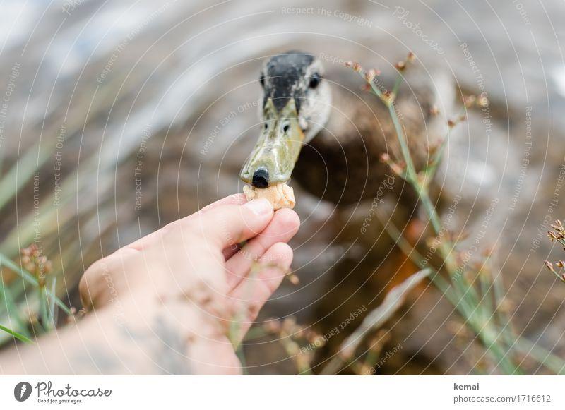 Fütterung II Hand Finger 1 Mensch Natur Pflanze Tier Wasser Sommer Küste Seeufer Wildtier Vogel Tiergesicht Ente füttern Neugier niedlich Sympathie Freundschaft