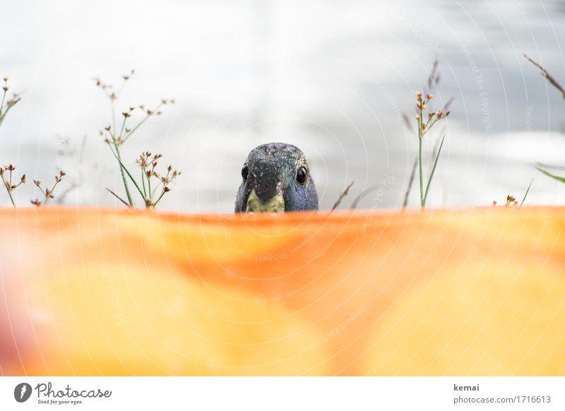 Seeungeheuer Umwelt Natur Tier Wasser Sonnenlicht Sommer Gras Sträucher Seeufer Wildtier Tiergesicht Ente Erpel 1 Decke Picknickdecke Blick authentisch frech