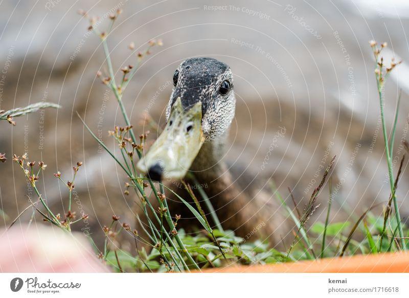 Fütterung Natur Pflanze Tier Sommer Küste Seeufer Wildtier Vogel Ente 1 Blick Neugier niedlich Sympathie Freundschaft Tierliebe Wachsamkeit Schnabel Gier