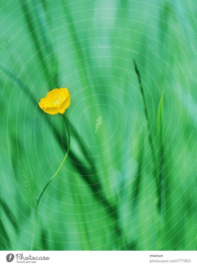 Ein dauerhaftes Blümchen für Kasulzke! grün Sommer Farbe ruhig Erholung Umwelt gelb Wiese Gras Frühling Blüte Gesundheit Zufriedenheit natürlich Design Wachstum