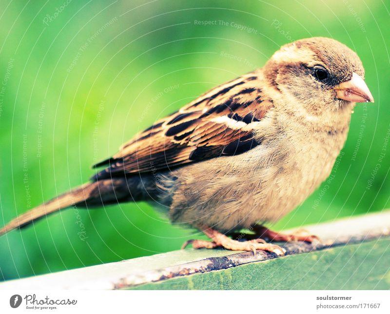 Piepmatz grün schön Tier Freiheit klein braun Vogel sitzen fliegen Wildtier Flügel Lebensfreude Spatz Tierliebe Sperlingsvögel