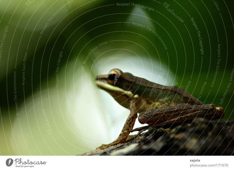 frosch im brennpunkt Umwelt Natur Tier Urwald Borneo Asien Wildtier Frosch Froschschenkel 1 beobachten Blick sitzen warten natürlich grün Farbfoto Außenaufnahme