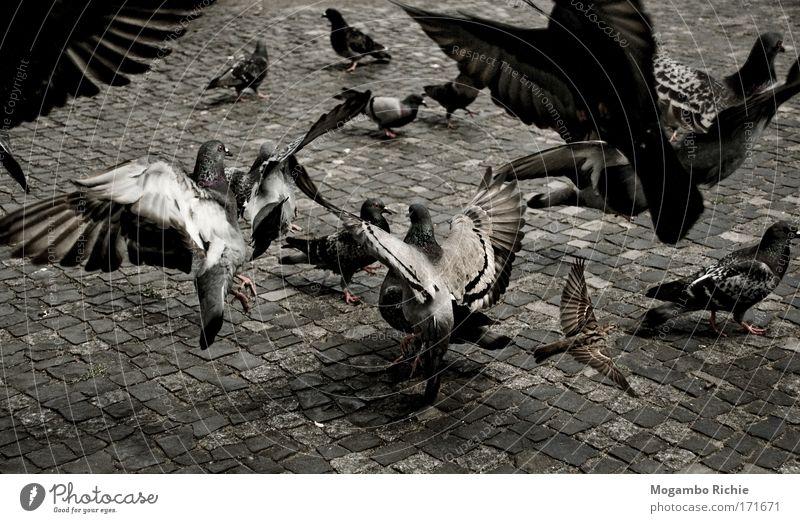 Tauben Natur Stadt weiß Tier dunkel schwarz Umwelt Bewegung grau fliegen Stein Vogel Luft Angst Wildtier authentisch