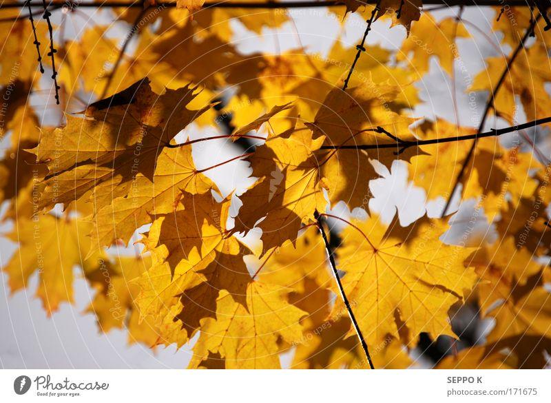 Natur schön Himmel Baum Pflanze Blatt gelb Wald Herbst Garten grau elegant gold gut Blitze Urelemente