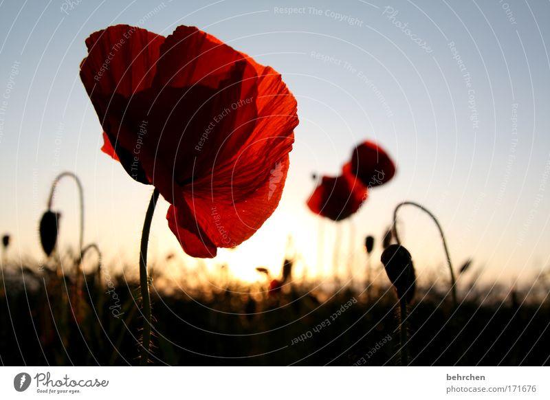 geburtstagspoppy für lutz Farbfoto Außenaufnahme Menschenleer Abend Sonnenaufgang Sonnenuntergang Umwelt Natur Himmel Wolkenloser Himmel Sommer Schönes Wetter