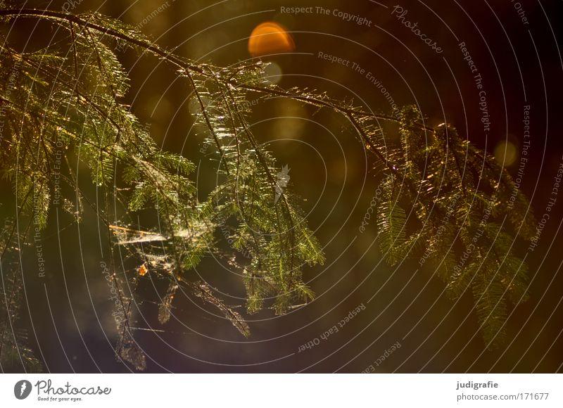Wald Natur grün Baum Pflanze ruhig Umwelt braun leuchten Vergänglichkeit Spinnennetz Nadelbaum