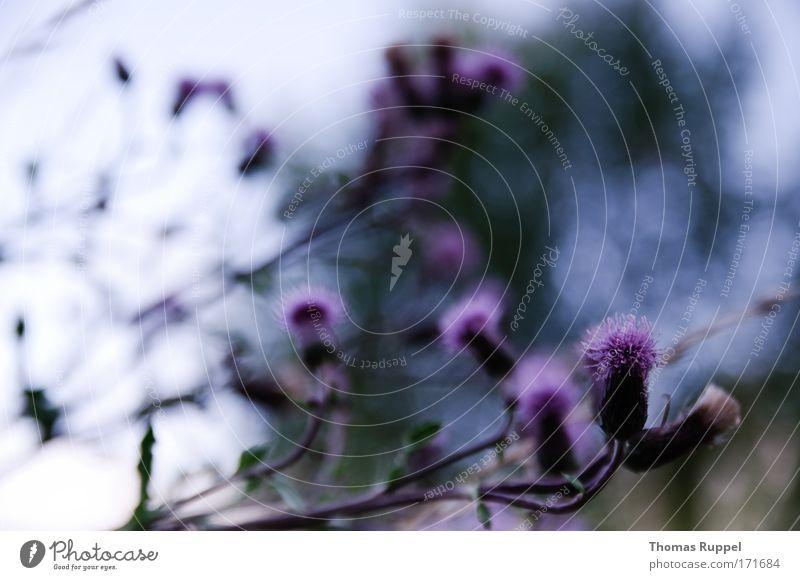 Li-La-Strauch Natur grün Pflanze Blüte Landschaft Feld Umwelt Sträucher violett Grünpflanze