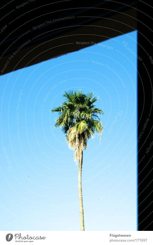 Vor meinem Fenster steht ne Palme! Himmel Pflanze schön Farbe Baum Haus natürlich Häusliches Leben Aussicht genießen Lebensfreude einzigartig Schönes Wetter