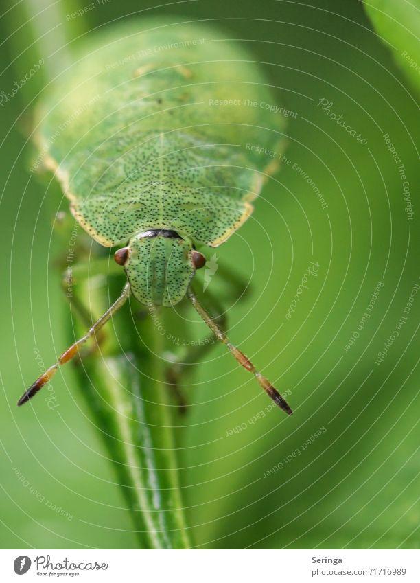 Augenkontakt Pflanze Tier Frühling Sommer Gras Blatt Garten Park Wiese Wald Wildtier Käfer Tiergesicht Flügel 1 krabbeln Nymphe Wanze Insekt Farbfoto mehrfarbig