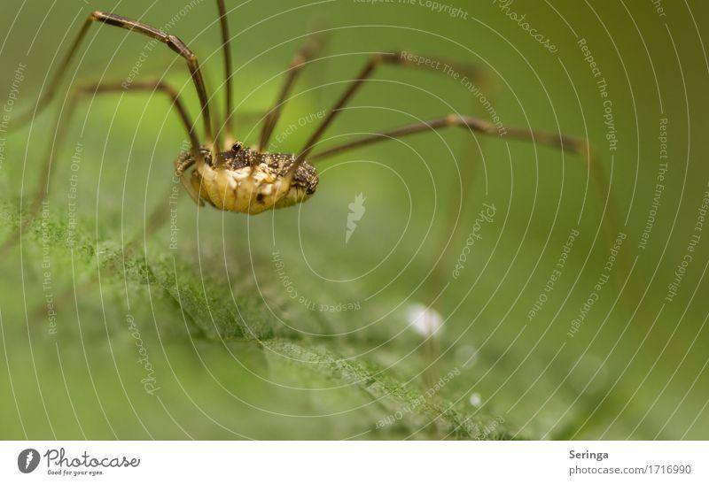 Wie auf Stelzen Pflanze Tier Frühling Sommer Blume Gras Blatt Wildpflanze Garten Park Wiese Wald Wildtier Spinne Tiergesicht 1 hängen krabbeln Weberknecht