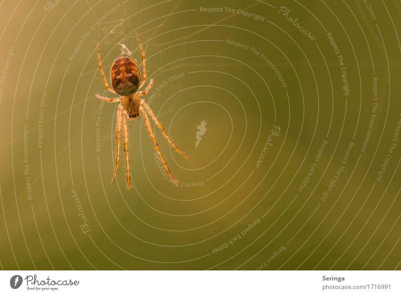 Komme her , ich fresse dich.... Tier Wildtier Spinne Tiergesicht 1 Netz fangen Fressen hängen Spinnennetz Spinnenbeine Farbfoto mehrfarbig Nahaufnahme