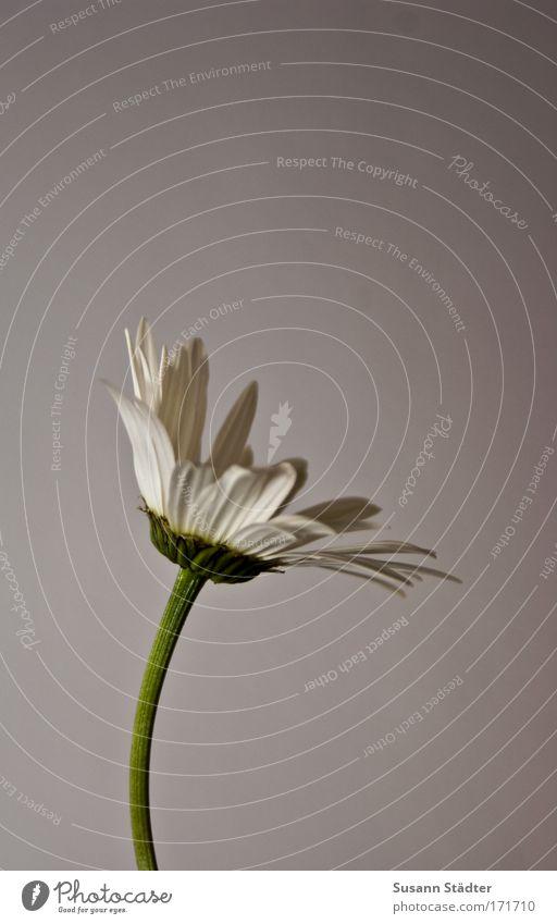 Blümchen für Lutz! weiß schön Pflanze Blume kalt elegant Dekoration & Verzierung Blumenstrauß Margerite Gerbera