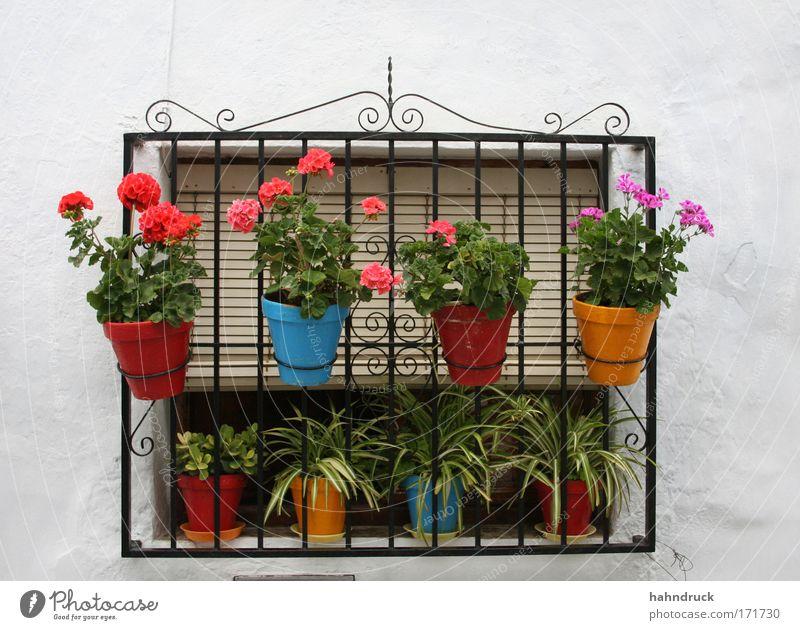 Andalusische Fensteridylle Farbfoto Detailaufnahme Menschenleer Tag Pflanze Blume Blüte Topfpflanze Garten Spanien Haus Mauer Wand Ferien & Urlaub & Reisen