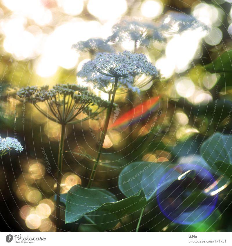 abends ist das Licht am schönsten Gesundheit Umwelt Natur Landschaft Tier Sonnenlicht Sommer Pflanze Wildpflanze Doldenblüte Doldenblütler Engelwurz Giersch