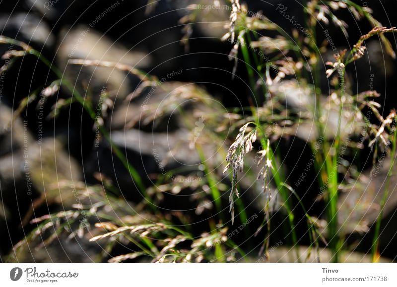 Gräser und Steine Farbfoto Gedeckte Farben Außenaufnahme Nahaufnahme Menschenleer Tag Schatten Schwache Tiefenschärfe Natur Pflanze Sommer Schönes Wetter Gras