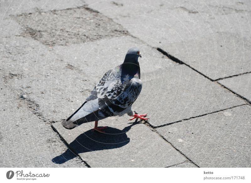 Nur Fliegen ist schöner Stadt Tier grau Stein gehen laufen Beton Flügel Taube Krallen