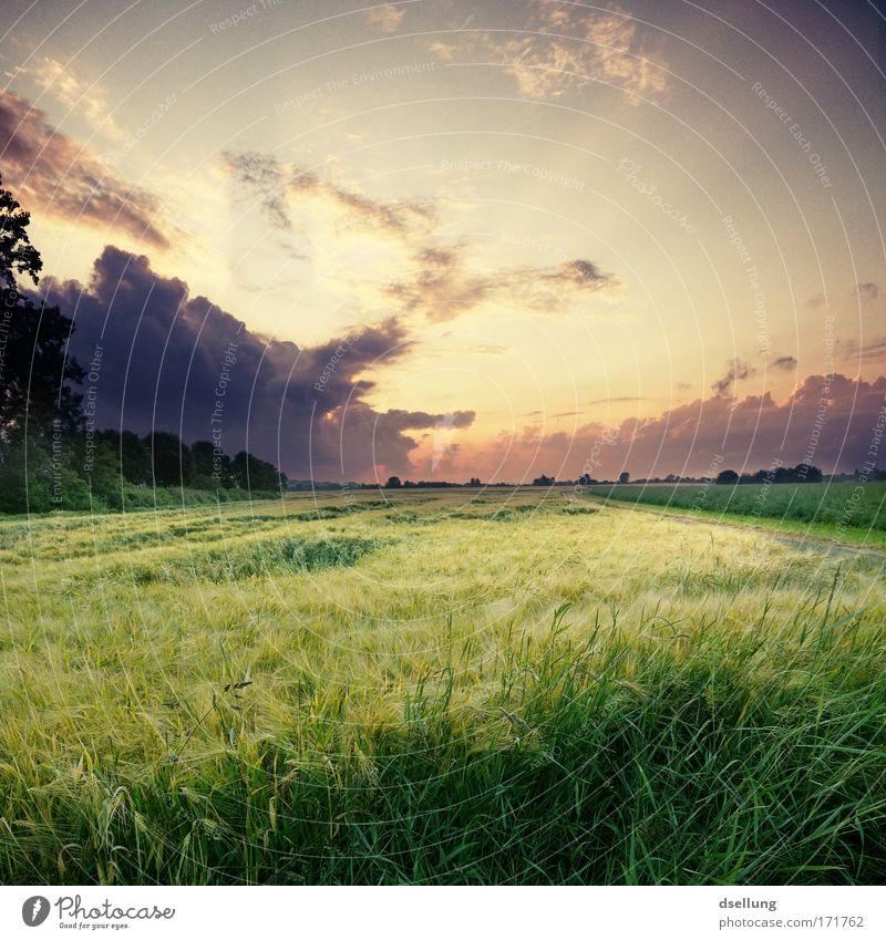Abenddämmerung mit straken Wolken und Getreidehalmen im Vordergrund Farbfoto Außenaufnahme Menschenleer Textfreiraum rechts Textfreiraum oben Dämmerung Licht