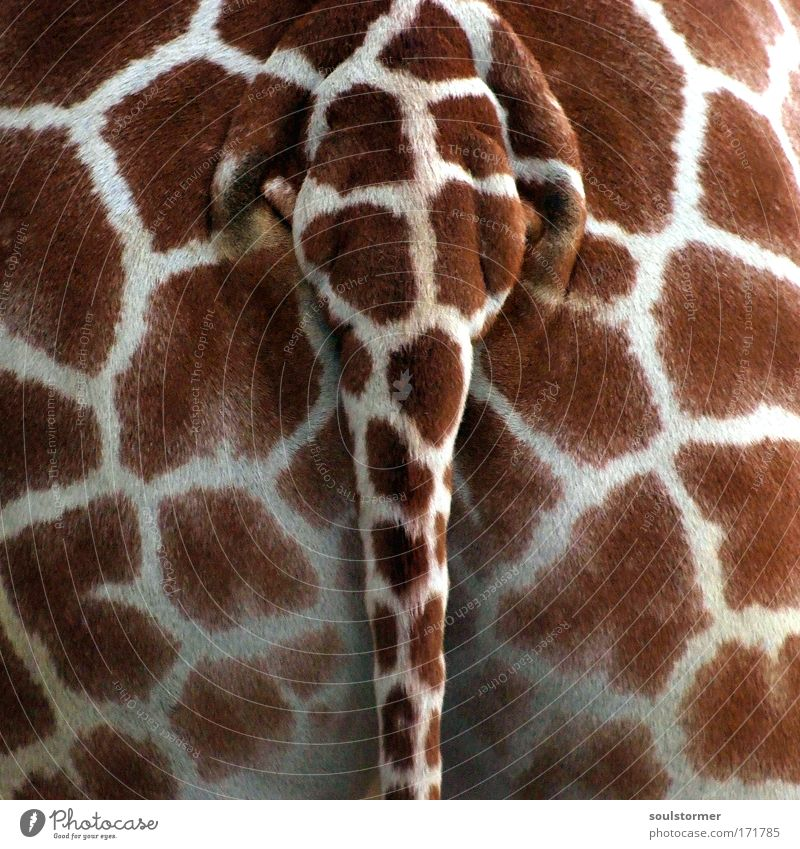 geiler Arsch Tapete Muster Tier 1 Gesäß Hinterteil Zoo Kot Wildtier Mensch Detailaufnahme Lust Schwanz Giraffe Perspektive