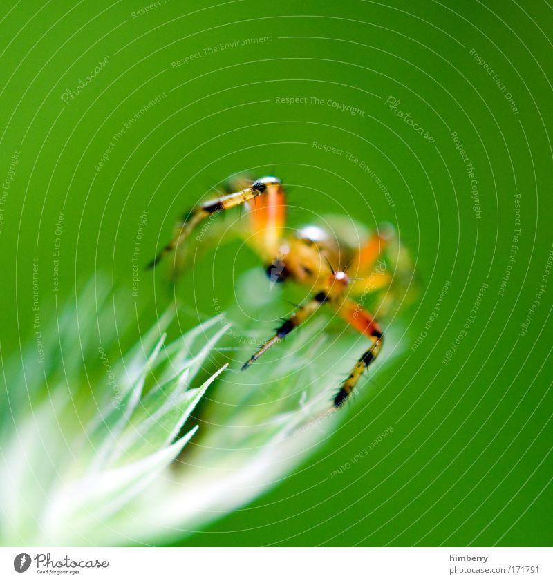 webstuhl Natur grün Pflanze Tier Wiese Feld Angst Umwelt Netzwerk bedrohlich Netz außergewöhnlich Wildtier exotisch Todesangst Spinne