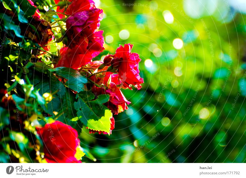 Rosen Farbfoto Außenaufnahme Detailaufnahme Textfreiraum rechts Tag Sonnenlicht Unschärfe Totale elegant Pflanze Tier Frühling Sommer Blume Grünpflanze Park