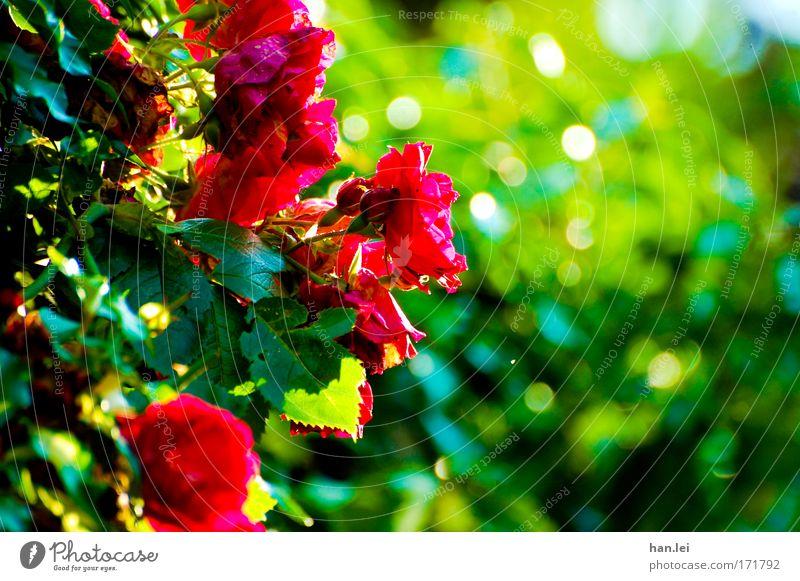 Rosen grün schön rot Pflanze Sommer Blume Freude Tier Frühling Stimmung Park Zufriedenheit elegant Fröhlichkeit Romantik