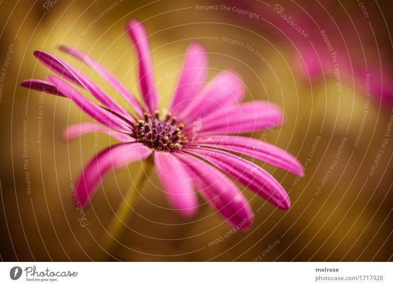 Schönheit elegant Stil Natur Pflanze Sommer Schönes Wetter Blume Blüte Wildpflanze Margeritenart Blütenblatt Blütenstempel Garten zweifarbig Farbe Neigung