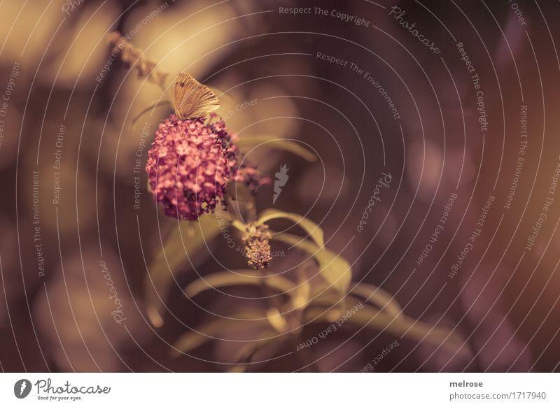 Schmetterling du kleines Ding elegant Natur Pflanze Sträucher Blatt Blüte Fliederbusch Fliederblüte Ast Garten Tier Flügel Distelfalter Insekt Gliederfüßer 1