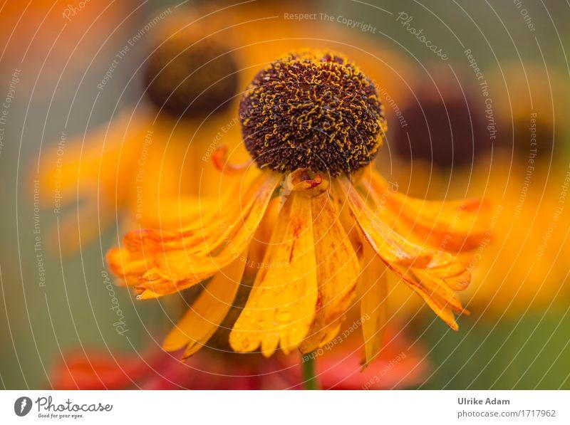 Gelbe Sonnenbraut - Die Tänzerin Pflanze Sommer Erholung ruhig Wärme gelb Blüte Innenarchitektur Herbst Kunst Garten Design Wohnung Park Zufriedenheit
