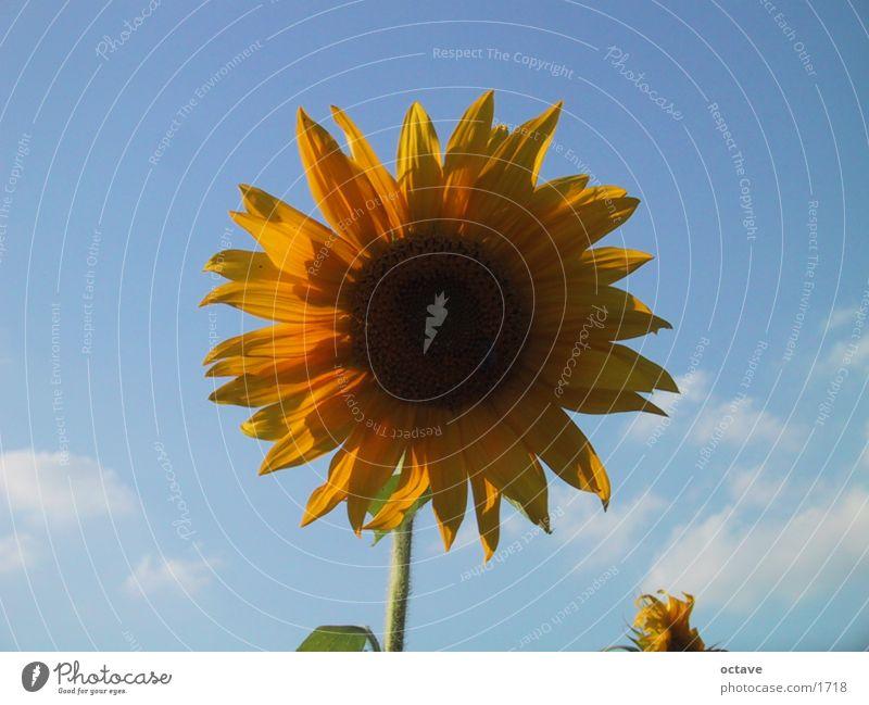 Helios1 Sonne Sommer Lebensfreude Sonnenblume Blume